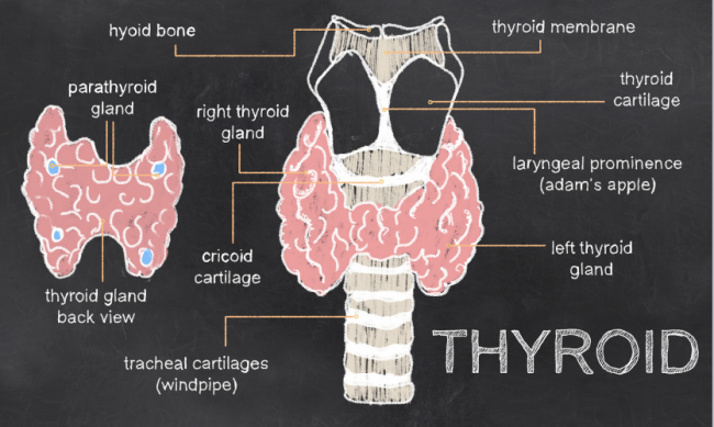 You need to understand the parts of the thyroid for natural thyroid treatment.